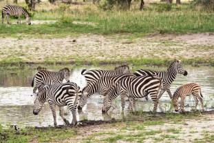 zebras Tarangire 2017-2-2