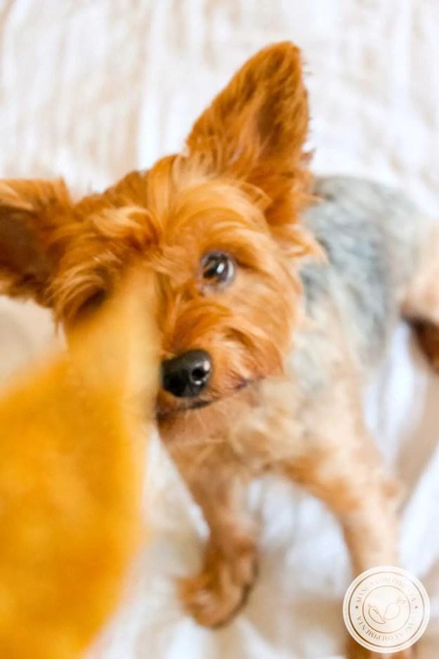 Receita de Biscoito Canino de Cenoura e Banana - um petisco caseiro e natural para o seu filho ou filha cão.