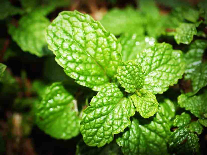 mint home remedies for acne