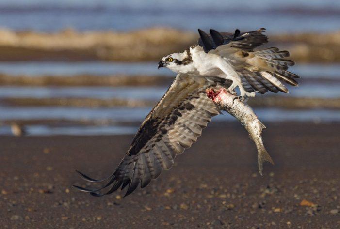 ospreyfishing