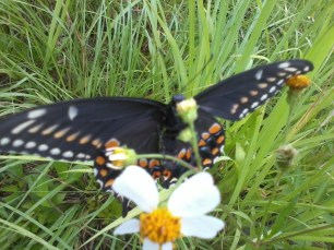 swallow tail (1)