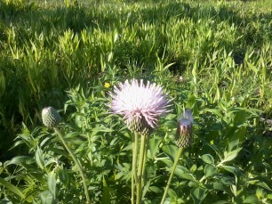 thistle in field (3)