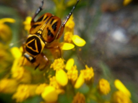 yellow beetle (2)