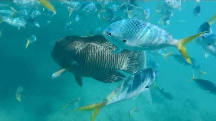 George is a famous wrasse fish you will find while snorkeling in the Whitsunday Islands.
