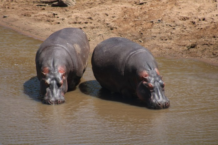 Look in the rivers while on safari to spot hippos.