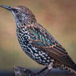 Bird A European Starling