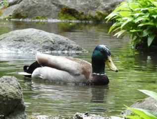 Bathing Mallard