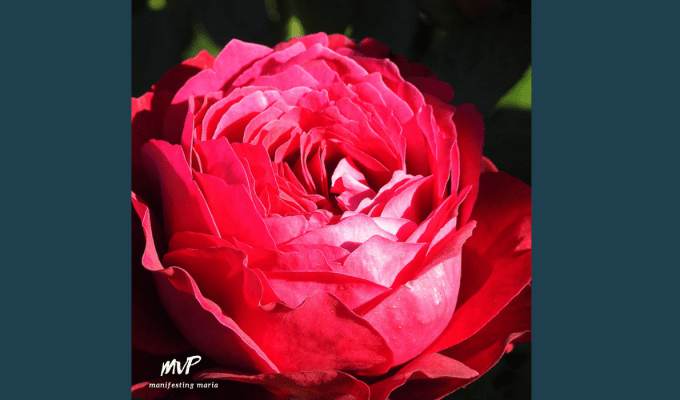 Manifesting Everyday Wisdom: The Wild Rose