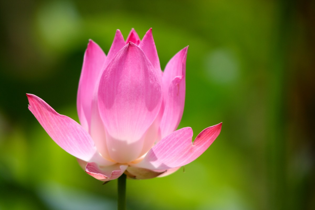 Information About Lotus Flower In Hindi Image Collections Flower