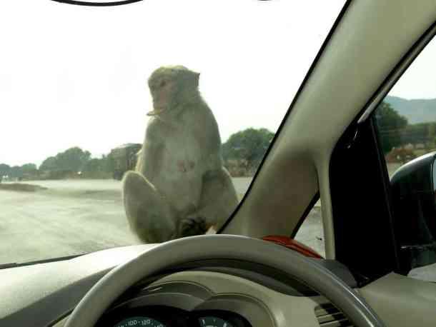 Monkeys in Rajastan. Varanasi. maninio.com #Rajastanjaipur #Agradelhi