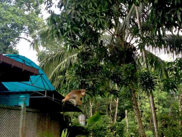 Monkey's games in Plantation Villa Resort in Sri Lanka. maninio.com #resortsrilanka #villaresort