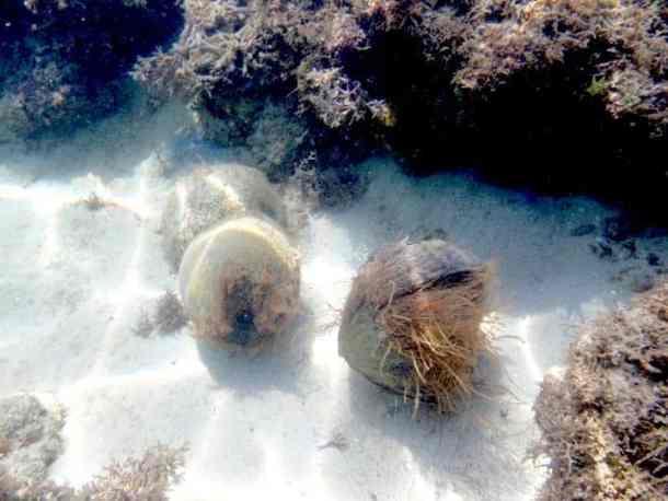 Coconut on the sea - Initao beach, Cebu, Iligan city - Philippines #Coconutbeach #Philippinesasia | maninio.com