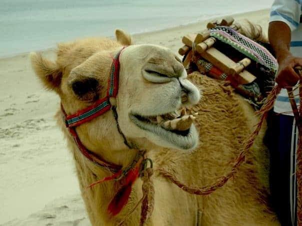 Qatar back 2006 - Camel Ride #Qatardohagames #asiangame2016 |maninio.com