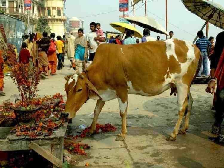 Βαρανάσι - Ινδία, αγελάδες και βρωμιά στον ποταμό. maninio.com