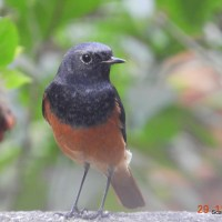 Birds We See Around: Black Redstart
