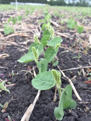 Soybeans at the unifoliate (VC) stage.