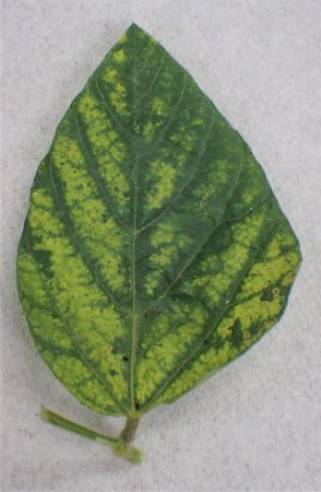 Figure 3. Diseases detected through molecular analysis at Brandon University include Alfalfa Mosaic Virus (AMV)