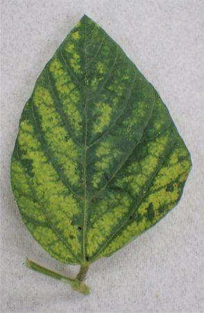 Figure 3. Diseases detected through molecular analysis at Brandon University include Alfalfa Mosaic Virus (AMV)
