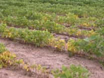 Above-ground symptoms of SCN resembling other types of plant symptoms. Photo: Craig Grau, Crop Protection Network