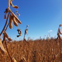 Soybeans at R8 near Dauphin on September 10.