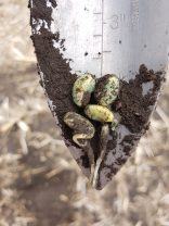 Germinating soybeans near Gladstone on May 20.