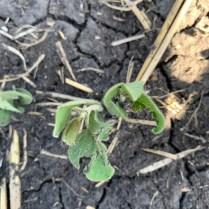 Hail-damaged soybean plant on June 7 near Gretna.