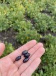 Black beans near Morden on August 24.