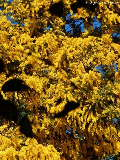 Sun-kissed mimosa. But still elusive.