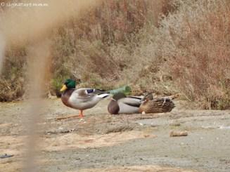 Bye bye, happy ducks.