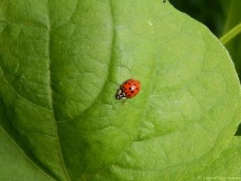 Uncle's ladybug.