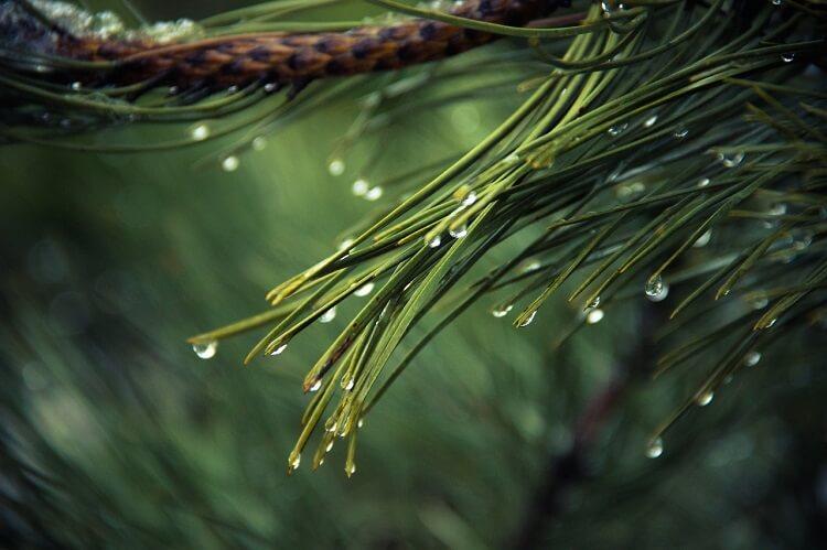 Natural beard softener. Pine essential oils