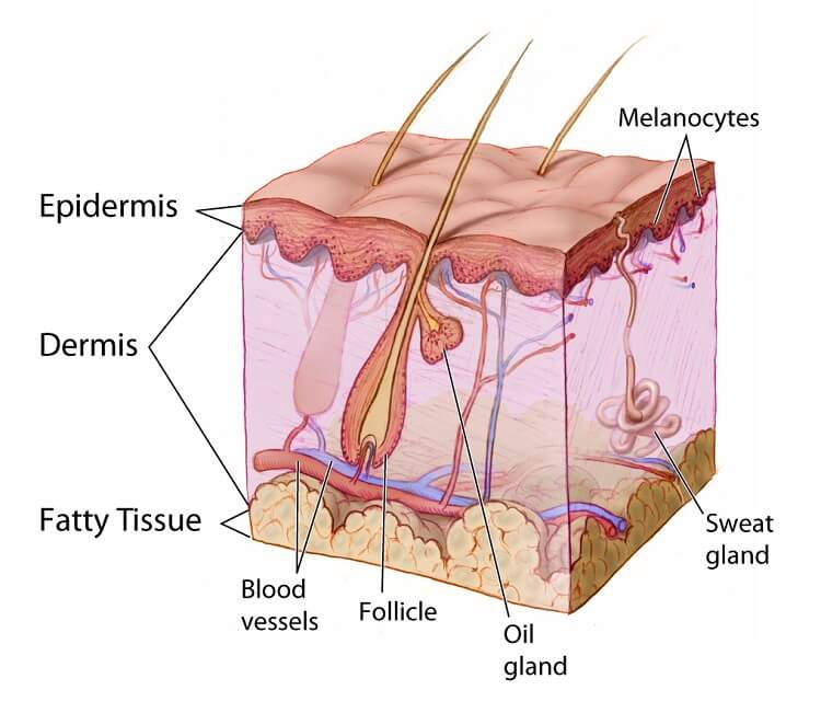 Growing a beard faster and thicker. Understanding the anatomy of skin and hair