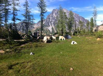 Mountain goats take over base camp.