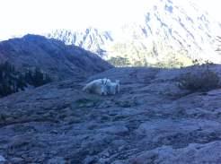 backpacking mountain goats
