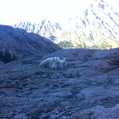 backpacking mountain goats