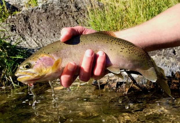 This photo shows the author holding a cutthroat trout.