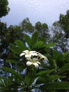 Frangipani... the most wonderful und fragrant flower I know