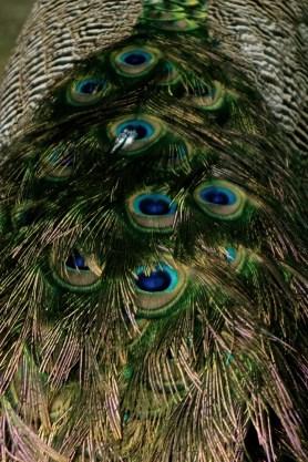 Dreamlike beautiful peacock feathers