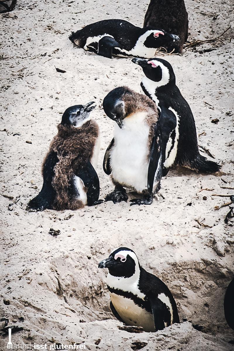 Boulders Beach Pinguine Kücken
