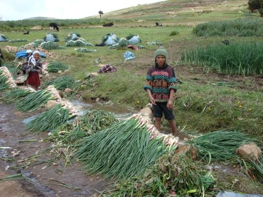 Harvesting Onions in Sancayani