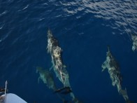 samoa fish, dolphins, snorkel samoa, surf samoa, hike samoa, manoa tours samoa, surf samoa