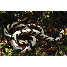 Serpiente rey</br>2011