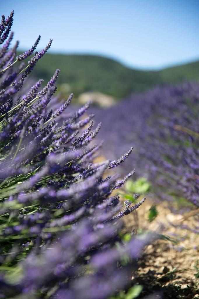 champs-lavande-drome-provençale-6