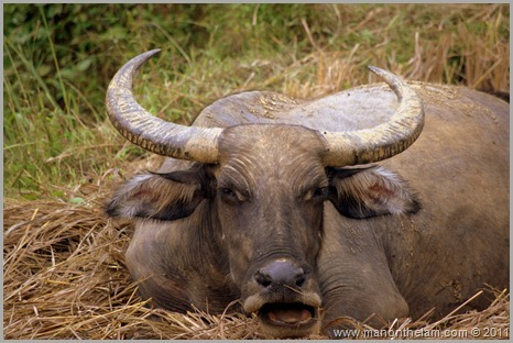 Water Buffalo growling, Sapa Vietnam