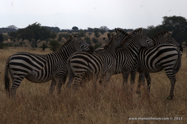 Group of Zebras, Tarangire National Park Tanzania 424