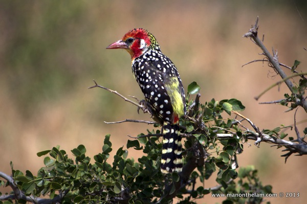 Red-and-yellow Barbet -- Tarangire National Park Tanzania