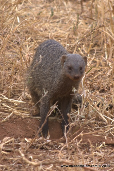 Mongoose -- Tarangire National Park, Tanzania