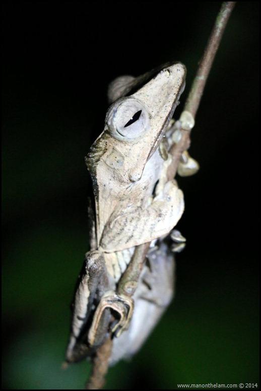 International Bornean Frog Race, Kumpah, Sarawak, Borneo, Malaysia-359