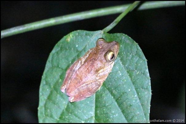 International Bornean Frog Race, Kumpah, Sarawak, Borneo, Malaysia-381