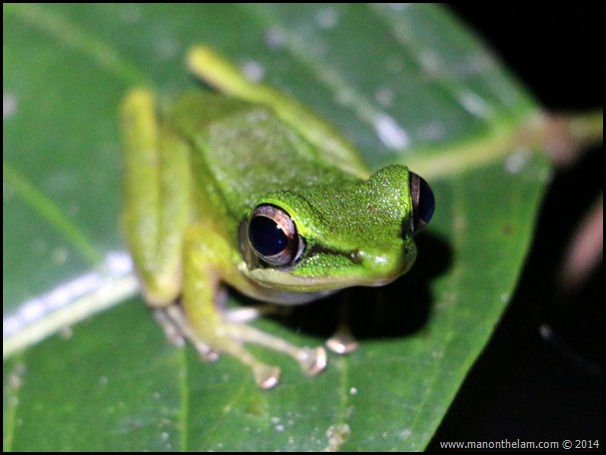White-lipped Frog, International Bornean Frog Race, Sarawak, Borneo, Malaysia